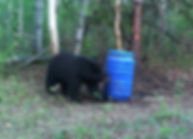 huge black bear