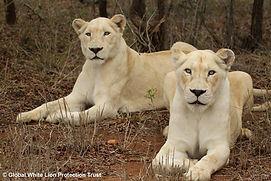 Nebu and Twala - white lions of GWLPT
