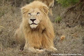 Mandla - Sacred white lion of GWLPT