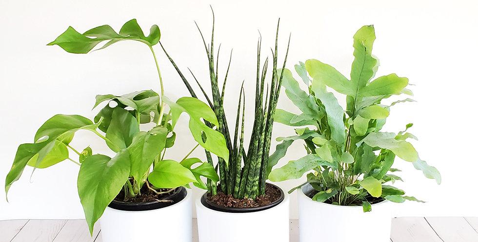 Shade Plant Trio