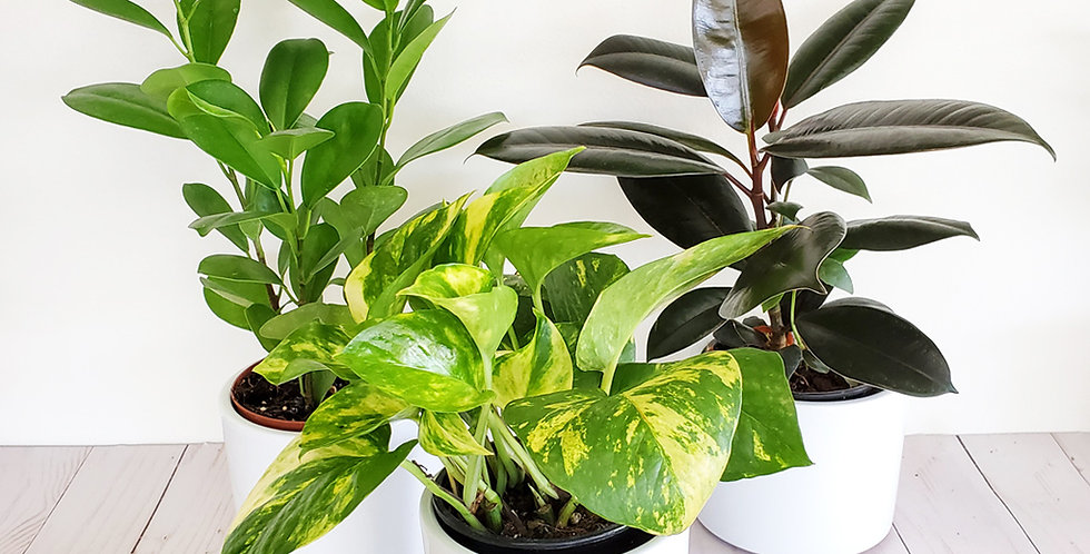 Easy Care Plant Trio
