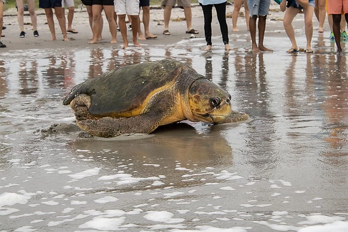 Perseverance the Turtle returns to ocean after rehab, laying 100+ eggs