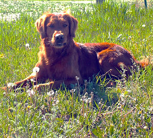 Golden Retriever field trial dogs and stud service