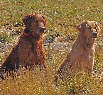 Qualified All Age Field Trial dogs Semper Cooper's Mulligan*** and Semper Mt Hood Maci***