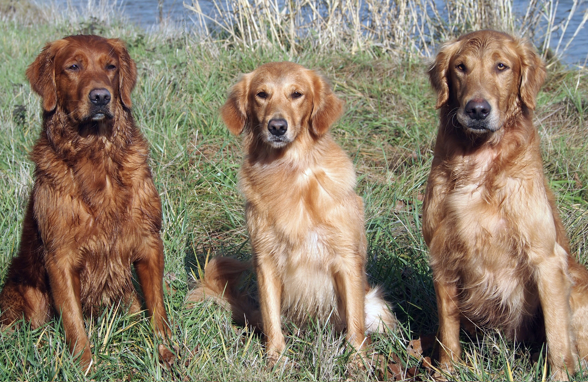 Portland | Golden Puppies |SEMPER RETREIVERS www