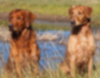 hunting golden retrievers field trials and hunt tests puppies