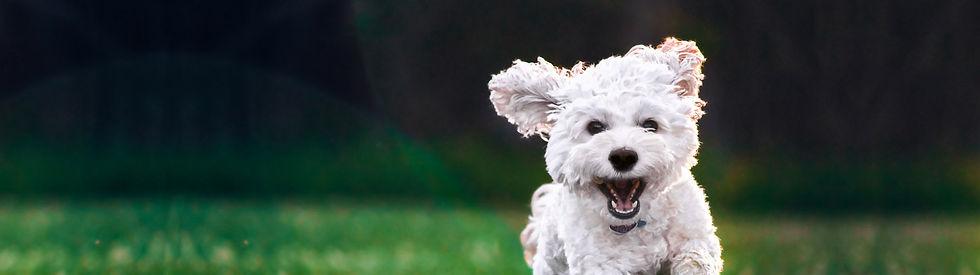 maltese puppy banner.jpg