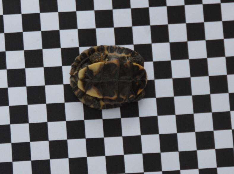 Cuora yunnanensis juvenile