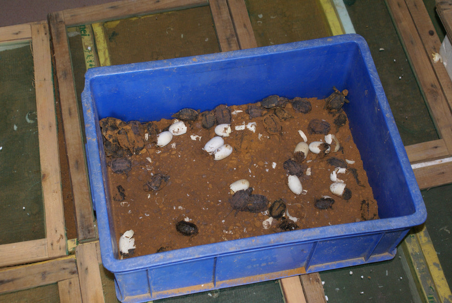 Hatchlings at a turtle Farm in Guangxi