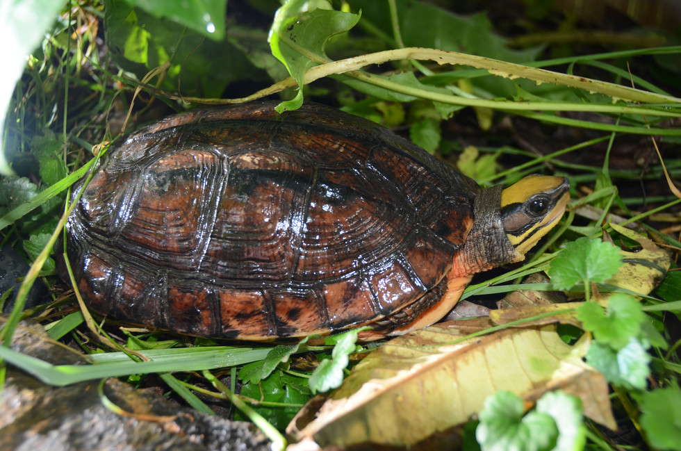Cuora trifasciata trifasciata female