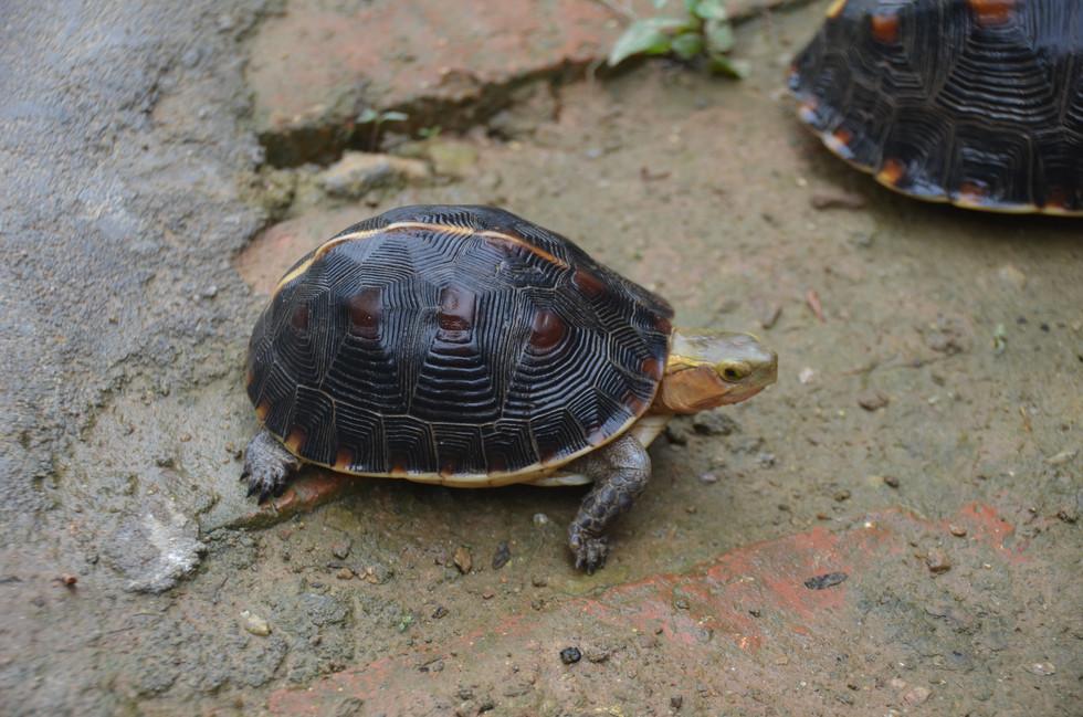 C.f.sinensis female