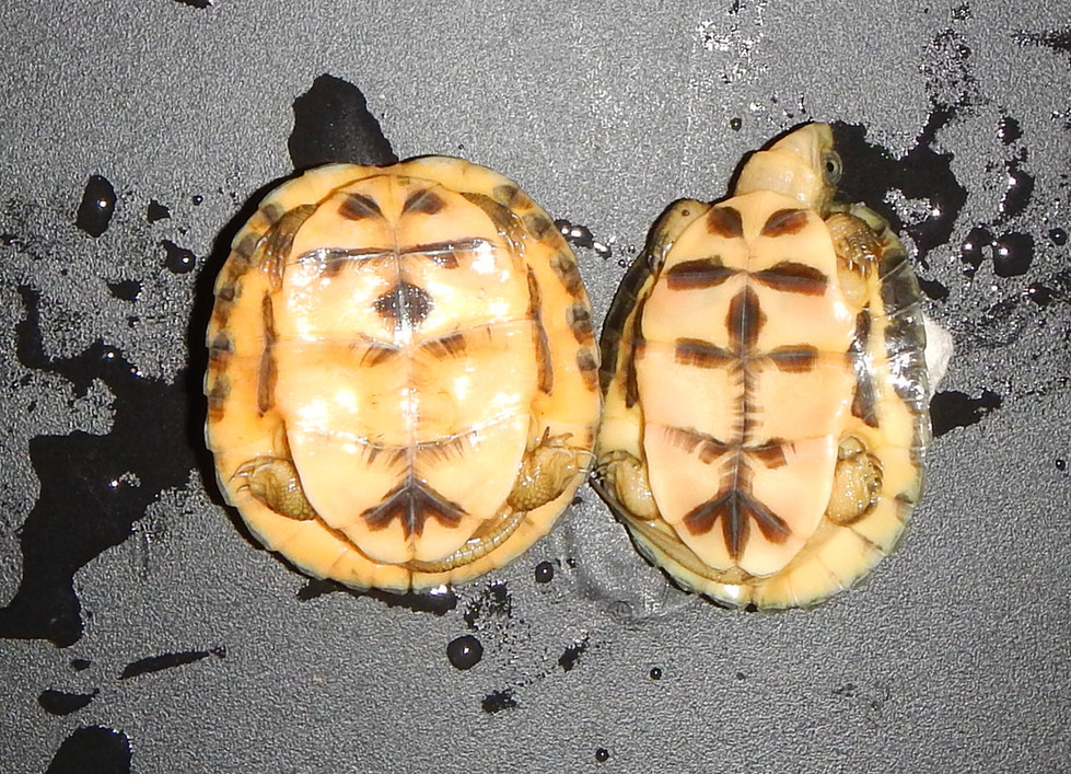 Left C.a.aurocapitata, right C.a.dabieshani juveniles