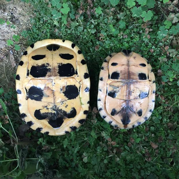 Cuora amboinensis lineata left lowland female, right highland female