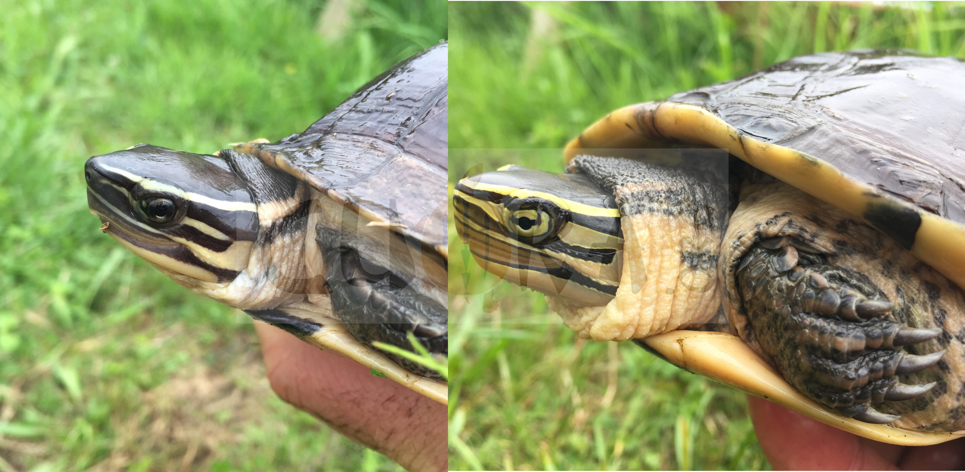 "Left: Cuora amboinensis ""Philippines"" right Cuora amboinensis amboinensis"