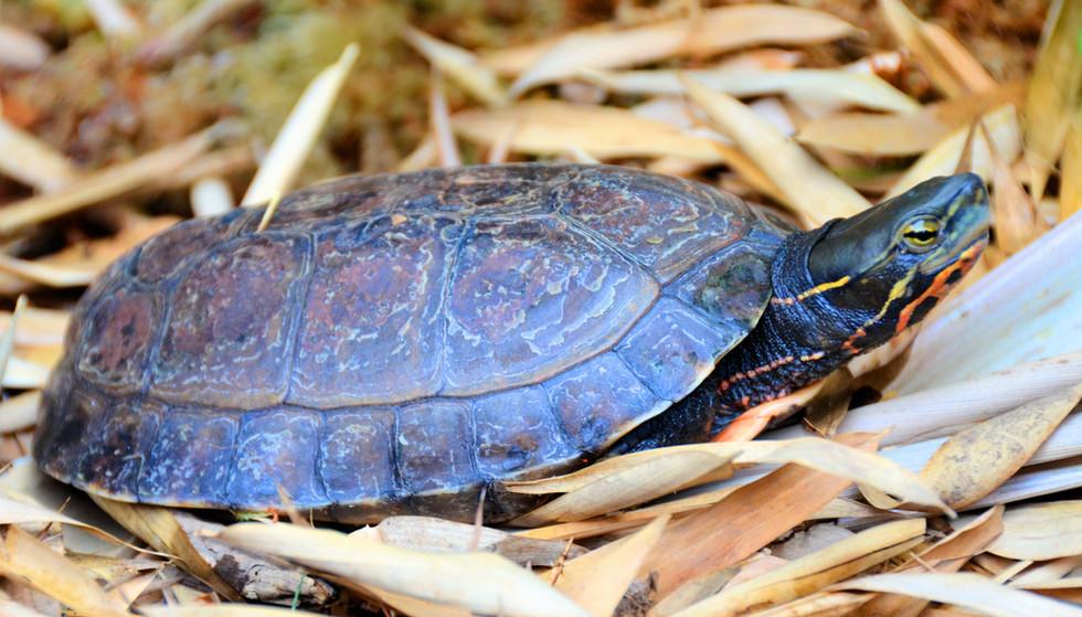 Cuora yunnanensis male
