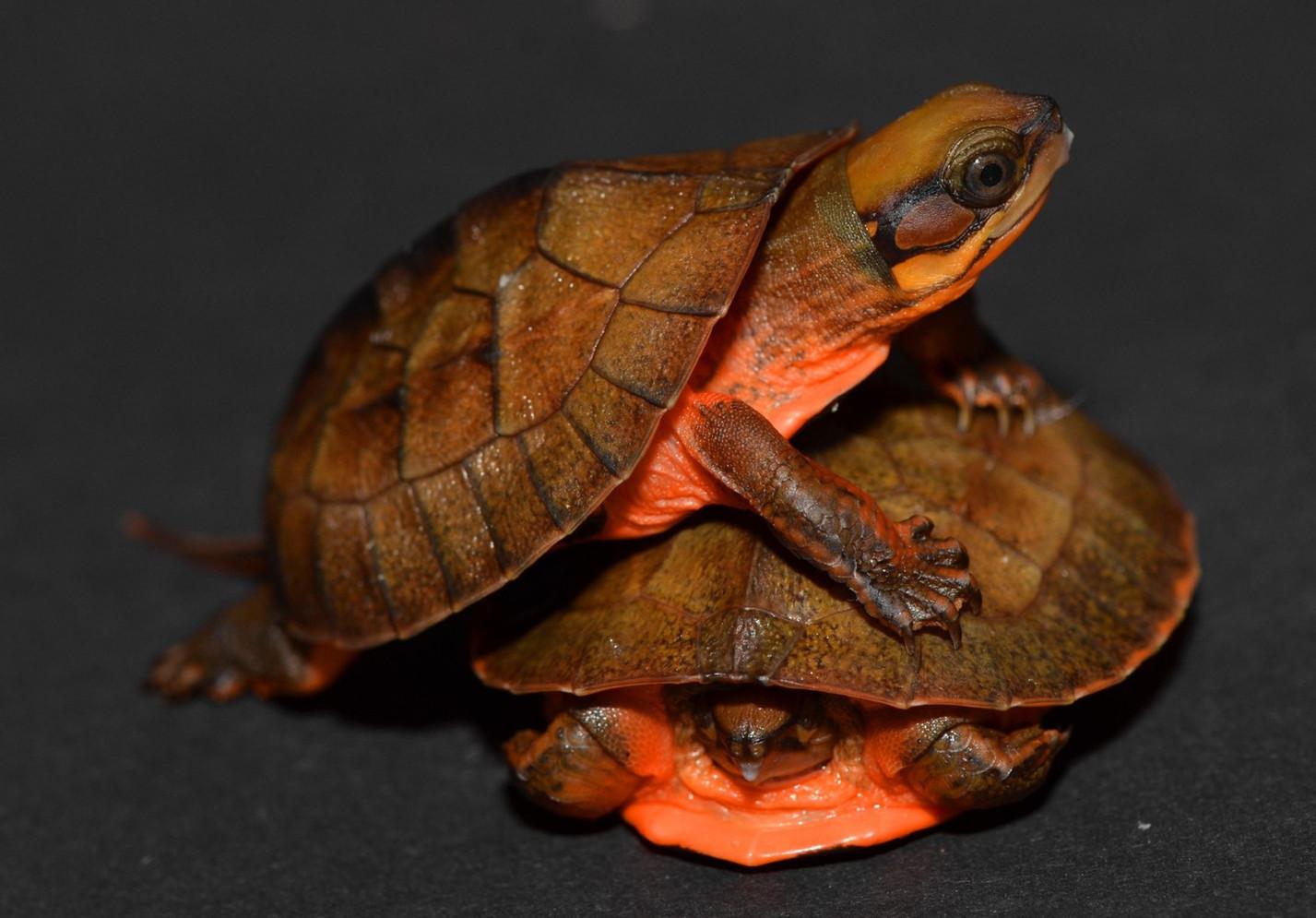 C.c.annamitica hatchlings