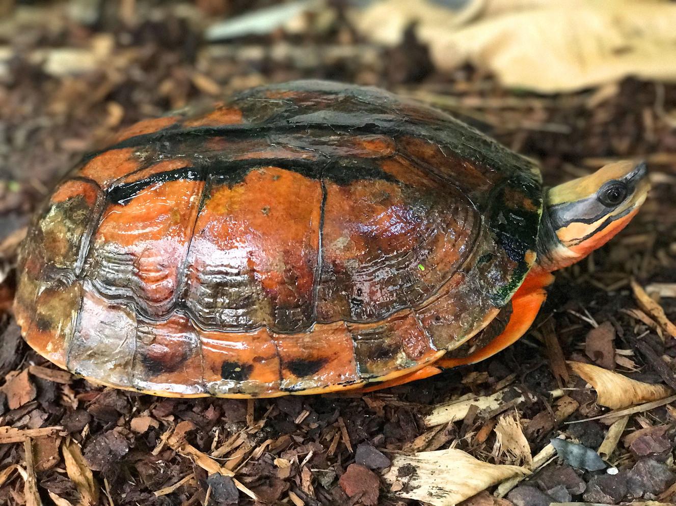 Cuora c. annamitica female