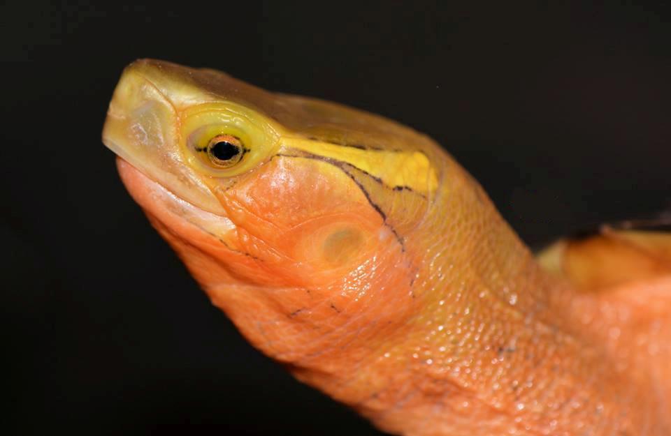 C.f.sinensis male