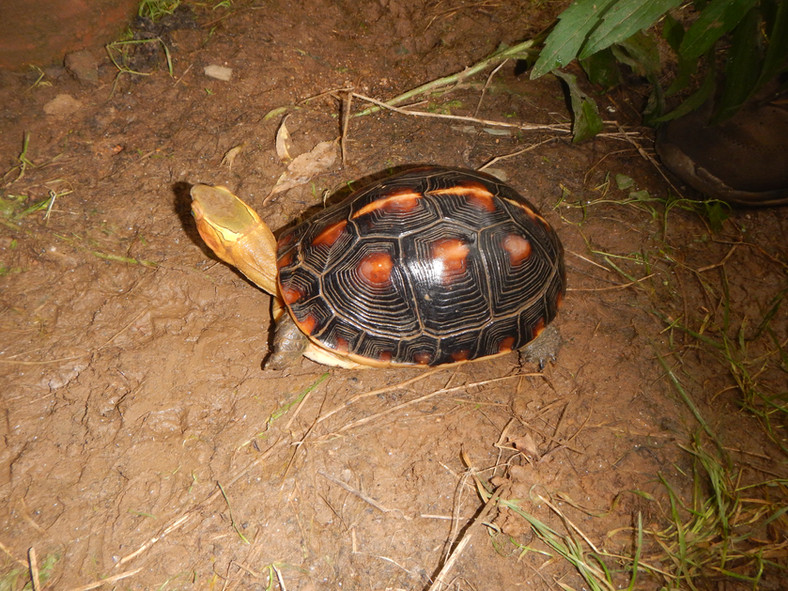 Cuora flavomarginata sinensis female