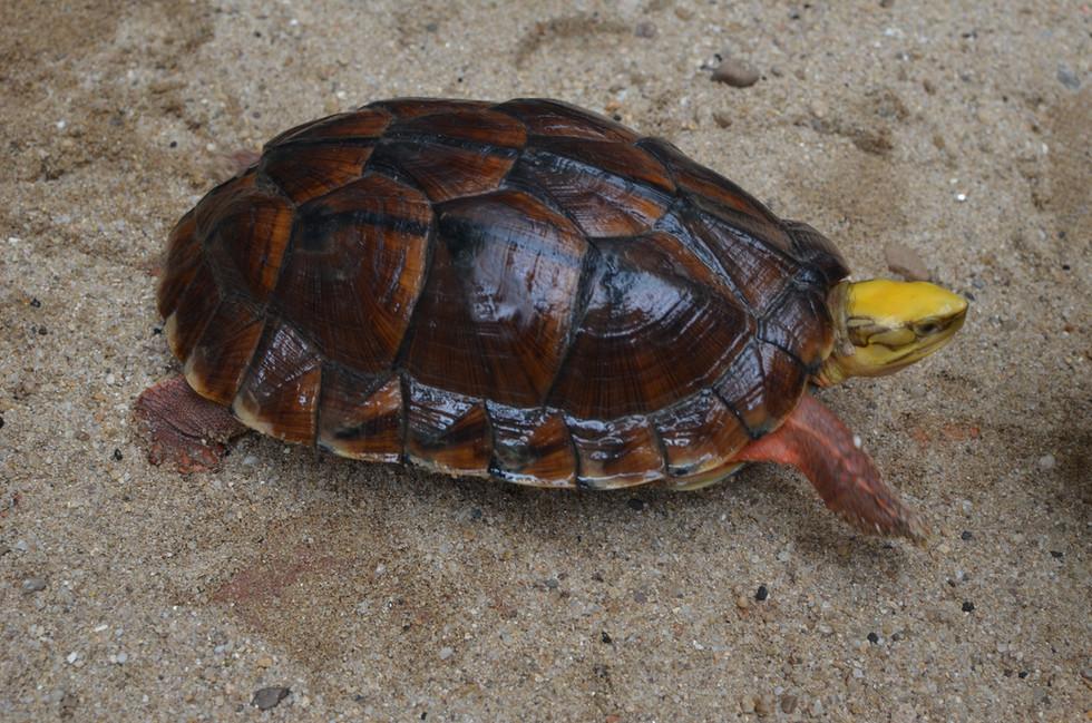 Cuora trifasciata luteocephala female