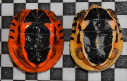 Left C.c.annamitica, right C.t.trifasciata