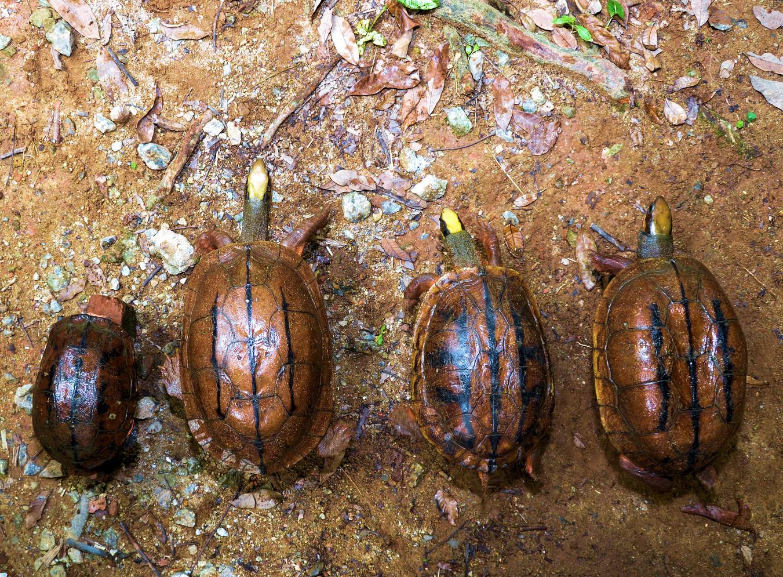 Left ro right: C.t.trifasciata, C.c.meieri, C.t.luteocephala, C.c.cyclornata