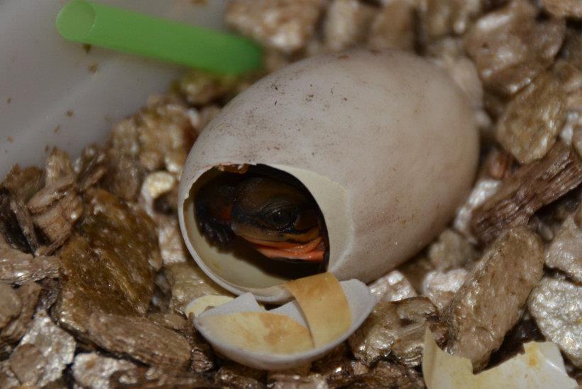 Hatching C.c.annamitica