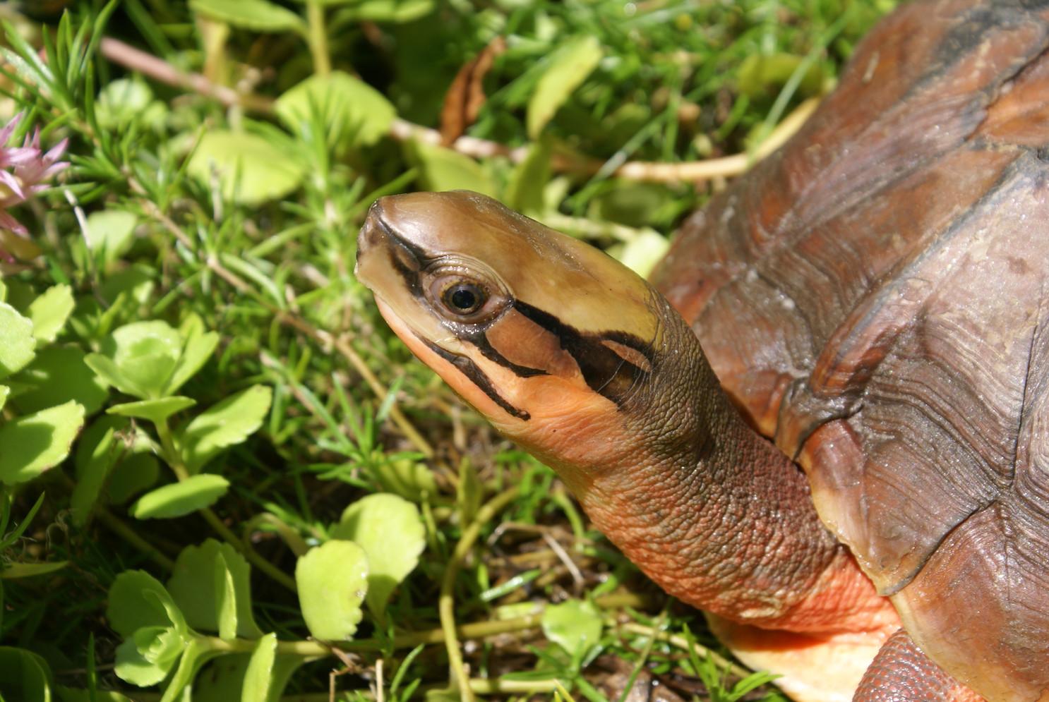 Cuora c. cyclornata female