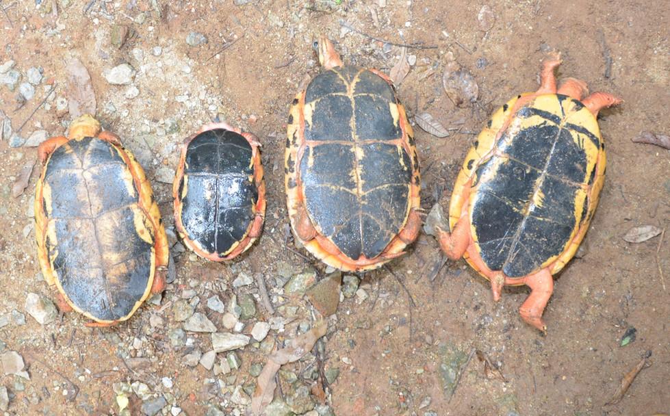 Left to right: C.t.luteocephala, C.t.trifasciata, C.c.meieri, C.c.cyclornata