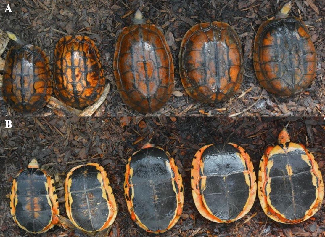 Left to right: C.t.trifasciata, C.t.luteocephala, C.c.meieri, C.c.annamitica, C.c.cyclornata