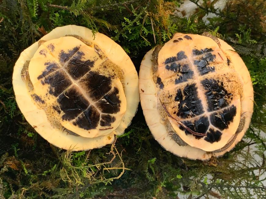 Plastron of juvenile C.picturata