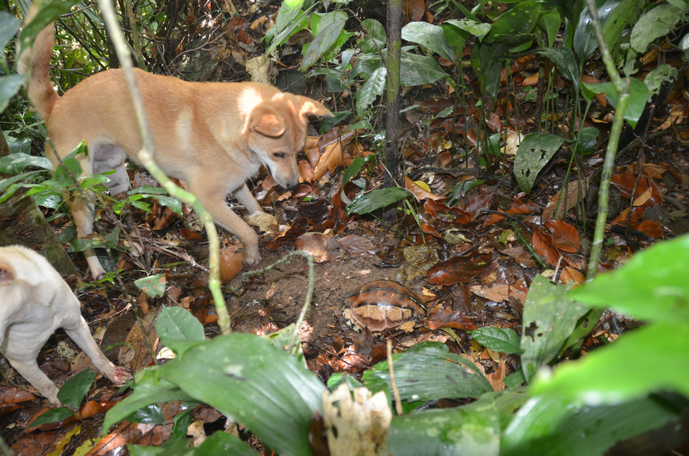 Hunting dogs find C.picturata