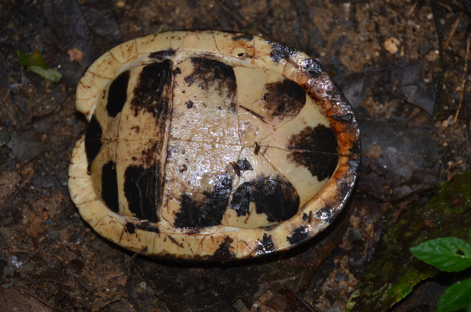 Cuora amboinensis kamaroma female