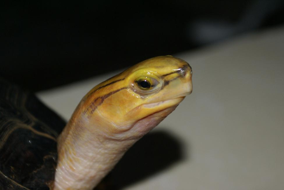 Giant C.mccordi female