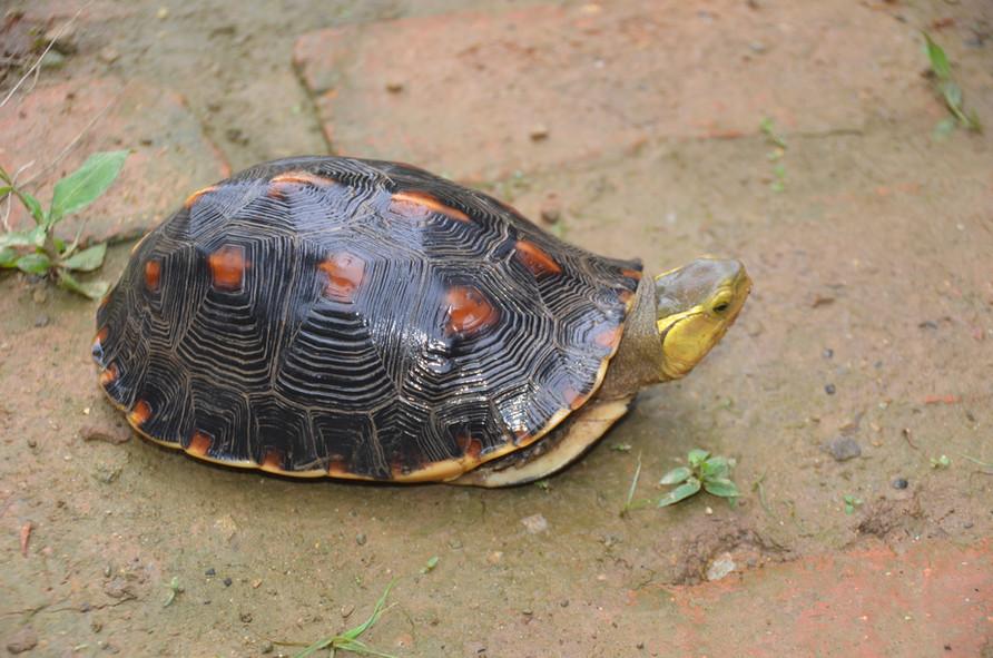 C.f.flavomarginata