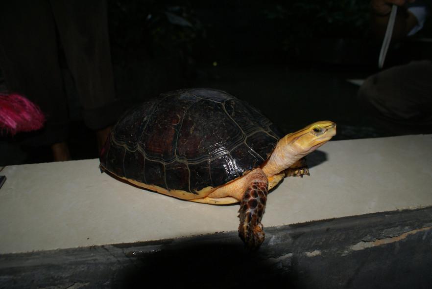Cuora mccordi in a Turtle Farm in Guangxi