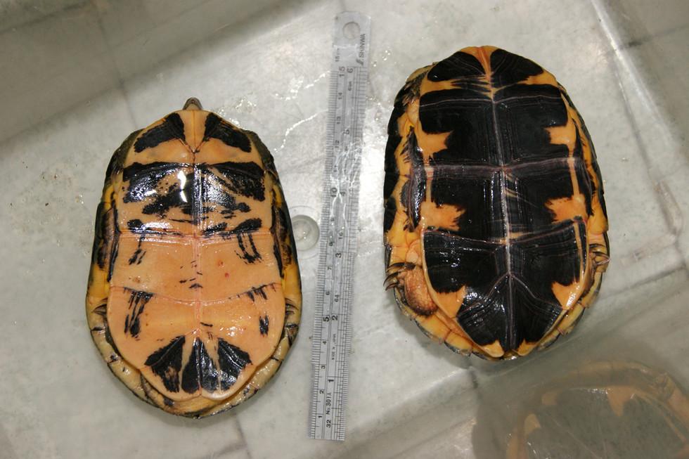 Left C.a.aurocapitata, right C.a.dabieshani