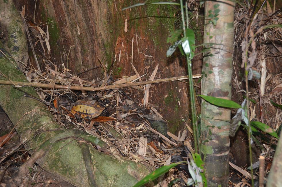"""Cuora galbinifrons """"Hainan"""" in Habitat"""