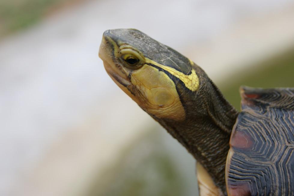 C.f.flavomarginata female