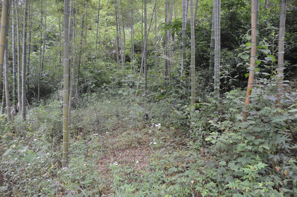 Habitat of C.f.sinensis