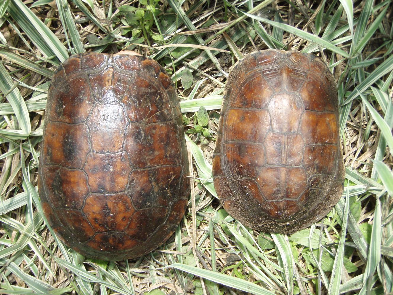 Cuora mccordi left female, right male