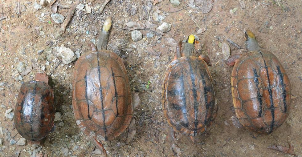 Left to right: C.t.trifasciata, C.c.meieri, C.t.luteocephala, C.c.cyclornata