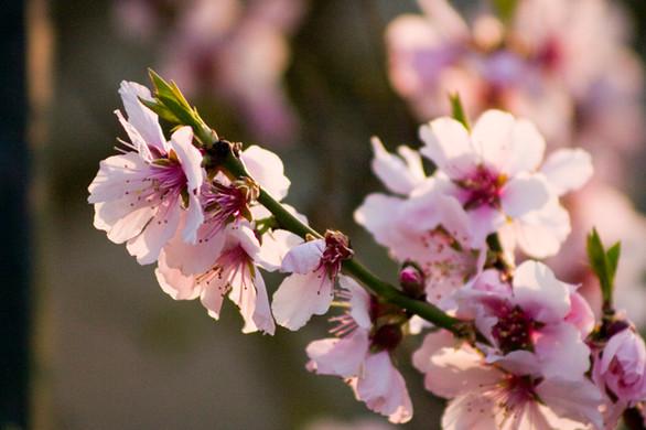 פרחי השקדיה