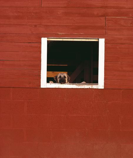 dog looking out a barn window