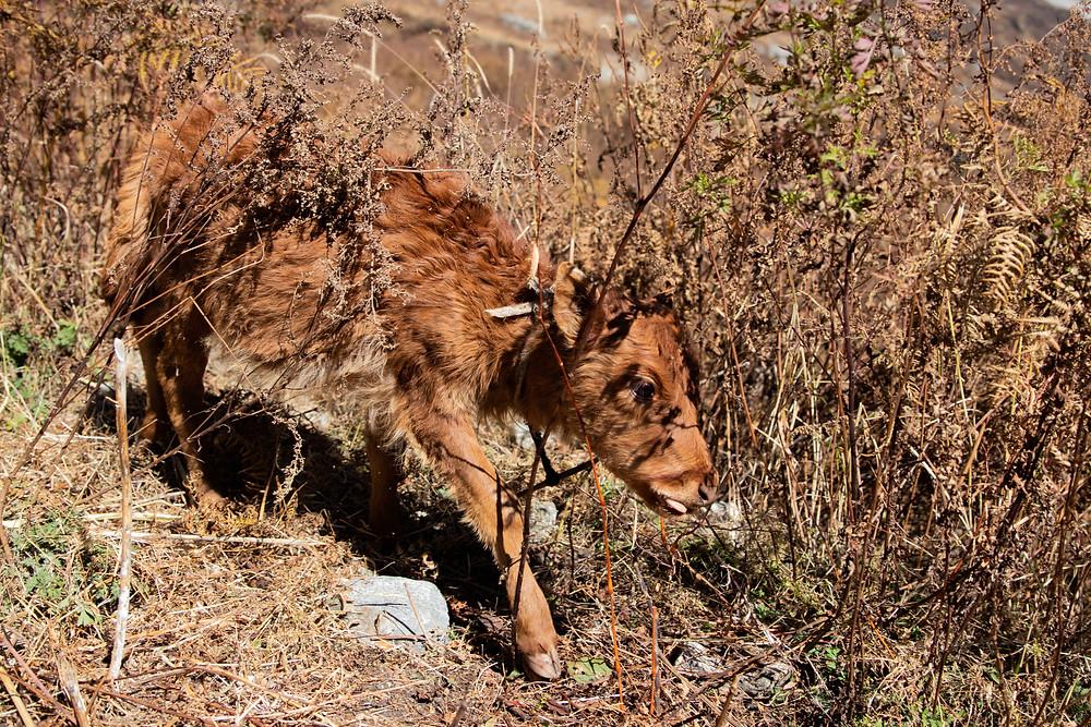 Small Yak in the Langtang region (from hungrigaufmeer)