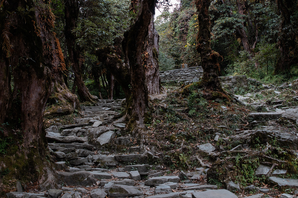 Rhododendron forest on the hike to Ghorepani, Poon Hill Trek (by Hungrig auf Meer)