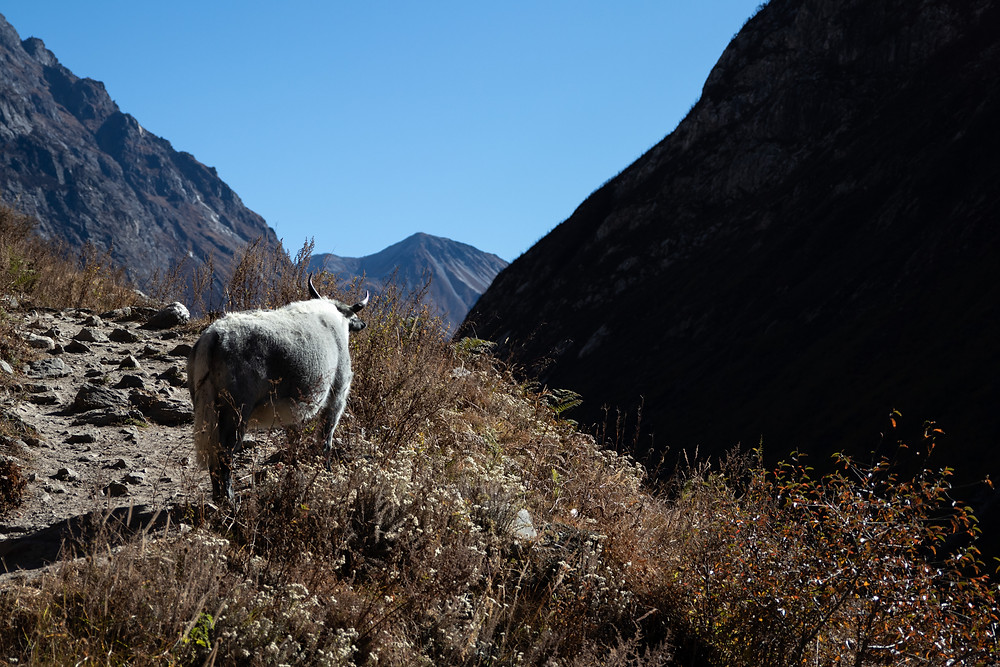 White yak that enjoys the view in the Langtang-Region (by HungrigaufMeer)