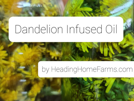 Infusing Oil with Dandelions