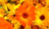 Kereru Calendula.jpg