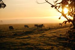 Guten-Morgen-Kuh im Nebel